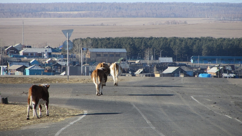 A desolate intersection with cows